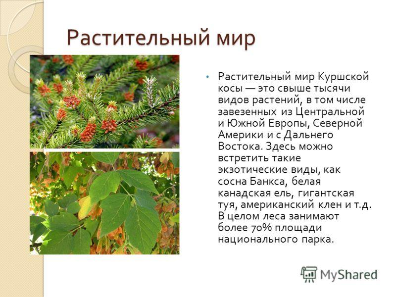Растительный мир Растительный мир Куршской косы это свыше тысячи видов растений, в том числе завезенных из Центральной и Южной Европы, Северной Америки и с Дальнего Востока. Здесь можно встретить такие экзотические виды, как сосна Банкса, белая канад