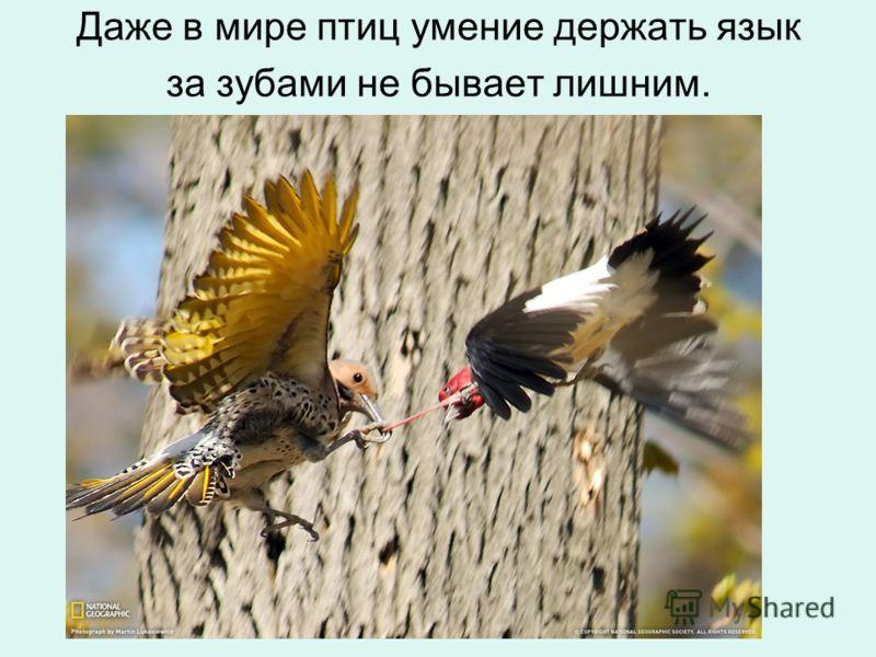 Даже в мире птиц умение держать язык за зубами не бывает лишним.