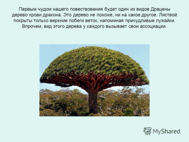 Первым чудом нашего повествования будет один из видов Драцены дерево крови дракона. Это дерево не похоже, ни на какое другое. Листвой покрыты только верхние побеги веток, напоминая причудливые лужайки. Впрочем, вид этого дерева у каждого вызывает сво