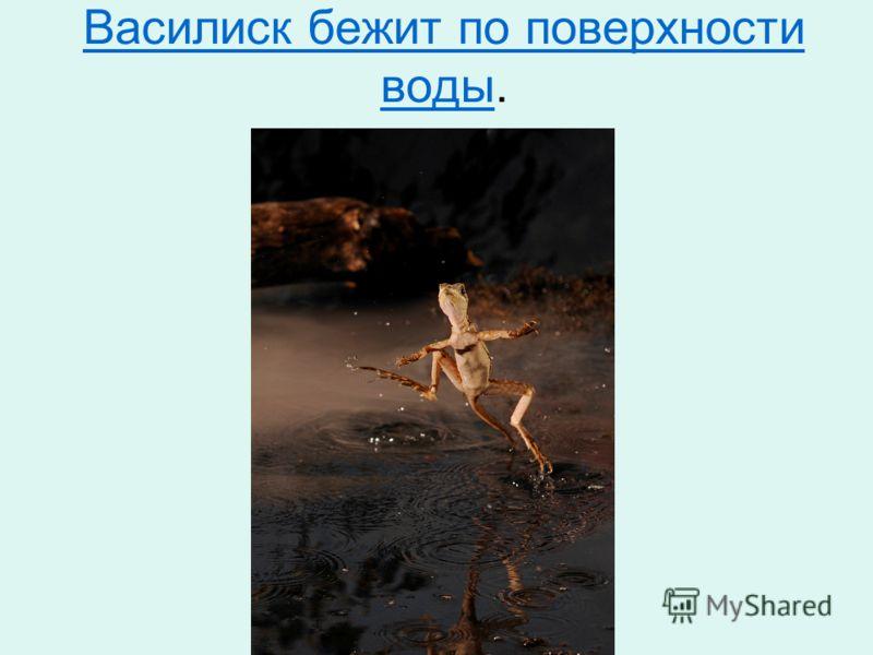 Василиск бежит по поверхности водыВасилиск бежит по поверхности воды.