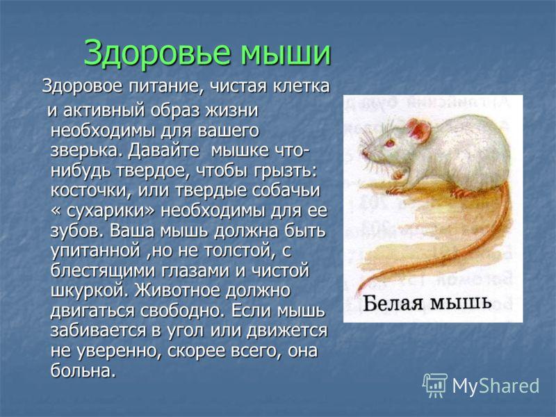 Здоровье мыши Здоровое питание, чистая клетка Здоровое питание, чистая клетка и активный образ жизни необходимы для вашего зверька. Давайте мышке что- нибудь твердое, чтобы грызть: косточки, или твердые собачьи « сухарики» необходимы для ее зубов. Ва