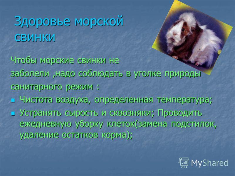 Здоровье морской свинки Чтобы морские свинки не заболели,надо соблюдать в уголке природы санитарного режим : Чистота воздуха, определенная температура; Чистота воздуха, определенная температура; Устранять сырость и сквозняки; Проводить ежедневную убо
