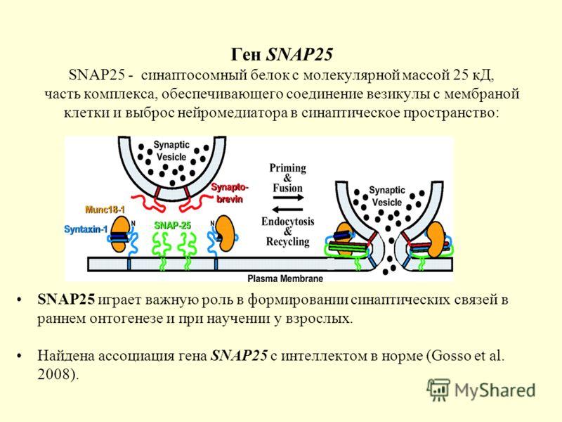 Ген SNAP25 SNAP25 - синаптосомный белок с молекулярной массой 25 кД, часть комплекса, обеспечивающего соединение везикулы с мембраной клетки и выброс нейромедиатора в синаптическое пространство: SNAP25 играет важную роль в формировании синаптических