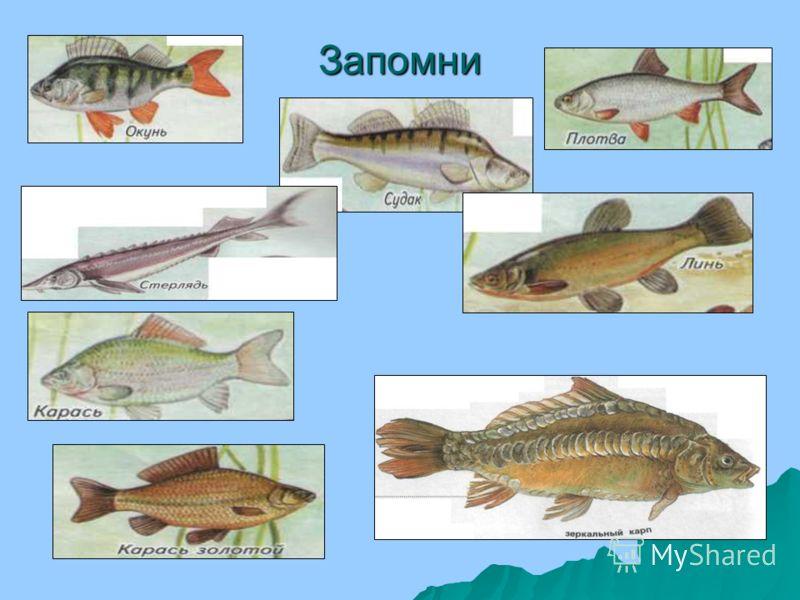 Как вы думаете, с помощью каких частей тела лещ и щука плавают? Как вы думаете, с помощью каких частей тела лещ и щука плавают? Лещ и щука – рыбы. Лещ и щука – рыбы. У всех рыб есть плавники. Тело рыб покрыто чешуёй. У всех рыб есть плавники. Тело ры