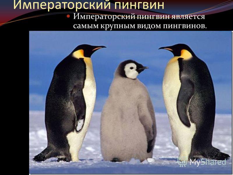 Императорский пингвин Императорский пингвин является самым крупным видом пингвинов.