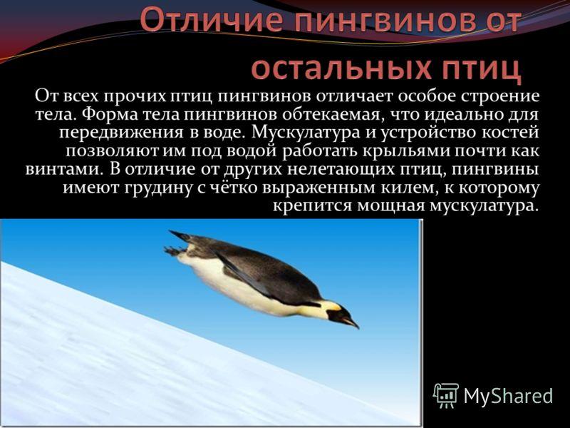 От всех прочих птиц пингвинов отличает особое строение тела. Форма тела пингвинов обтекаемая, что идеально для передвижения в воде. Мускулатура и устройство костей позволяют им под водой работать крыльями почти как винтами. В отличие от других нелета