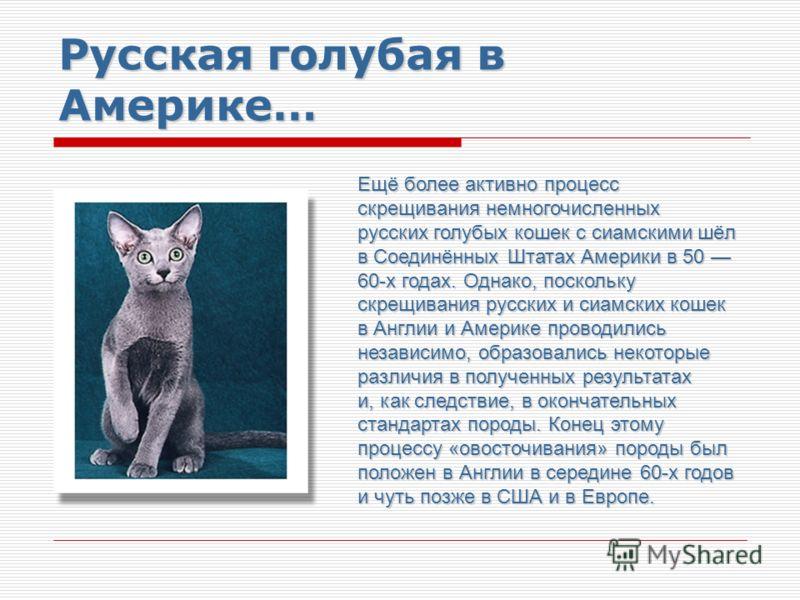 Русская голубая в Америке… Ещё более активно процесс скрещивания немногочисленных русских голубых кошек с сиамскими шёл в Соединённых Штатах Америки в 50 60-х годах. Однако, поскольку скрещивания русских и сиамских кошек в Англии и Америке проводилис