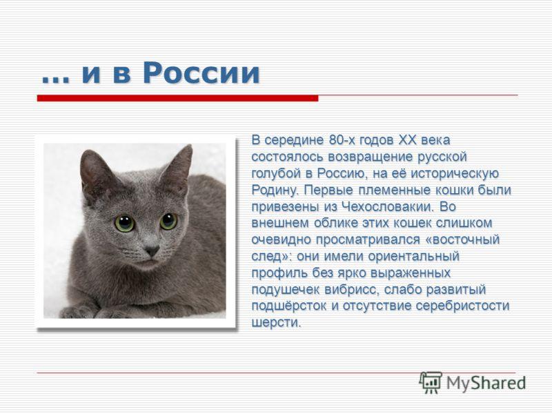 … и в России В середине 80-х годов ХХ века состоялось возвращение русской голубой в Россию, на её историческую Родину. Первые племенные кошки были привезены из Чехословакии. Во внешнем облике этих кошек слишком очевидно просматривался «восточный след