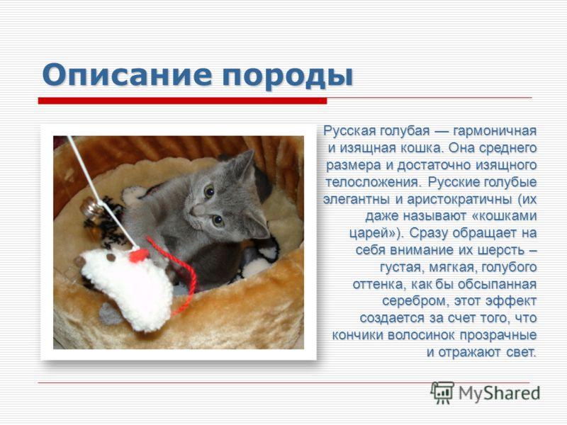 Описание породы Русская голубая гармоничная и изящная кошка. Она среднего размера и достаточно изящного телосложения. Русские голубые элегантны и аристократичны (их даже называют «кошками царей»). Сразу обращает на себя внимание их шерсть – густая, м