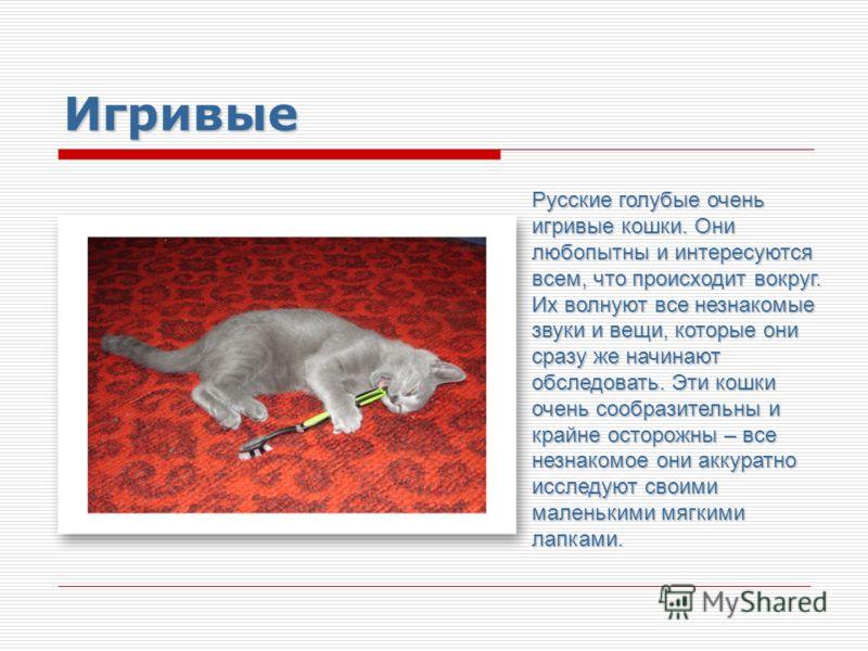 Игривые Русские голубые очень игривые кошки. Они любопытны и интересуются всем, что происходит вокруг. Их волнуют все незнакомые звуки и вещи, которые они сразу же начинают обследовать. Эти кошки очень сообразительны и крайне осторожны – все незнаком