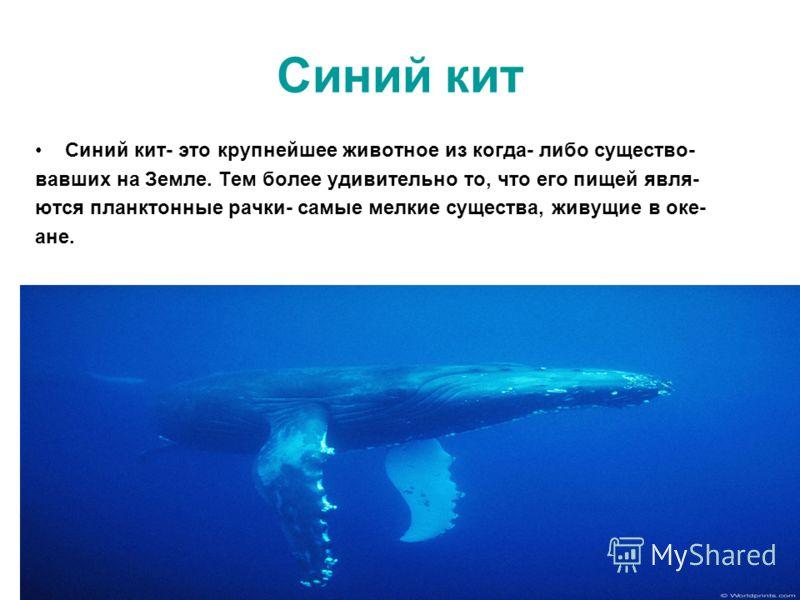 Синий кит Синий кит- это крупнейшее животное из когда- либо существо- вавших на Земле. Тем более удивительно то, что его пищей явля- ются планктонные рачки- самые мелкие существа, живущие в оке- ане.