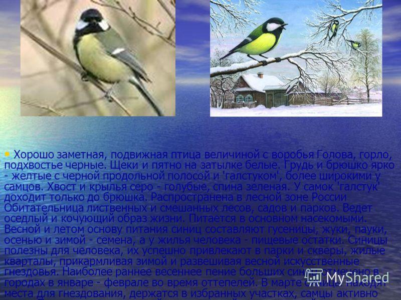 Хорошо заметная, подвижная птица величиной с воробья Голова, горло, подхвостье черные. Щеки и пятно на затылке белые. Грудь и брюшко ярко - желтые с черной продольной полосой и 'галстуком', более широкими у самцов. Хвост и крылья серо - голубые, спин