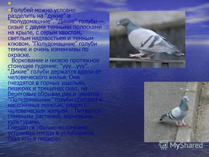 Голубей можно условно разделить на дикие и полудомашние. Дикие голуби сизые с двумя темными полосками на крыле, с серым хвостом, светлым надхвостьем и темным клювом. Полудомашние голуби темнее и очень изменчивы по окраске. Воркование и низкое протяжн