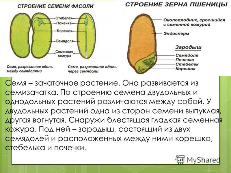 Семя – зачаточное растение. Оно развивается из семизачатка. По строению семена двудольных и однодольных растений различаются между собой. У двудольных растений одна из сторон семени выпуклая, другая вогнутая. Снаружи блестящая гладкая семенная кожура