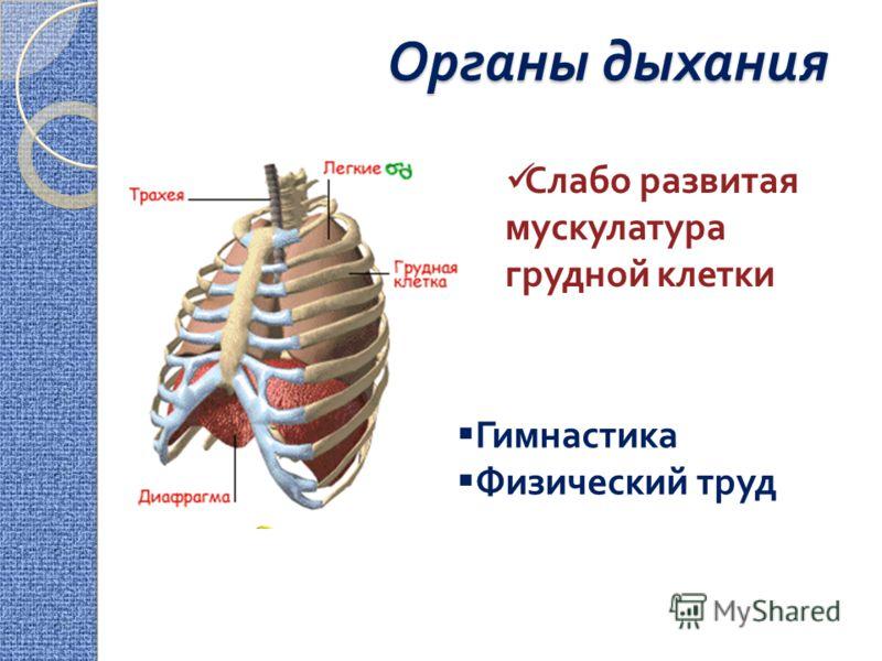 Органы дыхания Гимнастика Физический труд Слабо развитая мускулатура грудной клетки