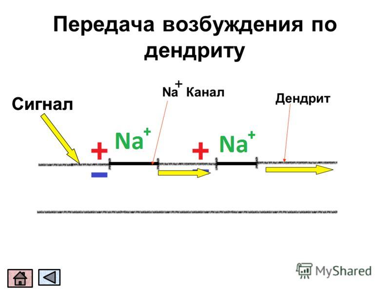 Сигнал Дендрит Na Канал Передача возбуждения по дендриту + Сигнал