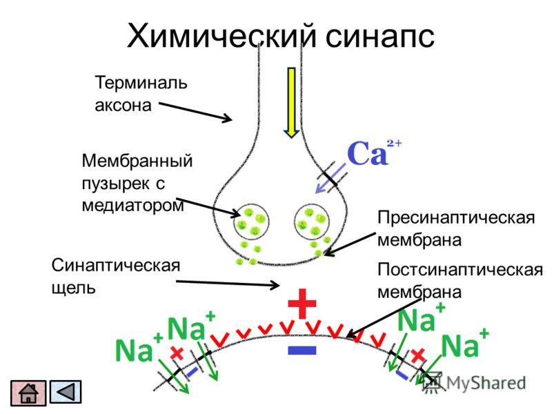 Химический синапс Синаптическая щель Терминаль аксона Мембранный пузырек с медиатором Пресинаптическая мембрана Постсинаптическая мембрана