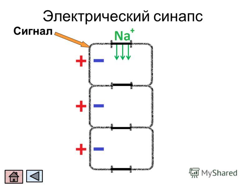 Электрический синапс Сигнал