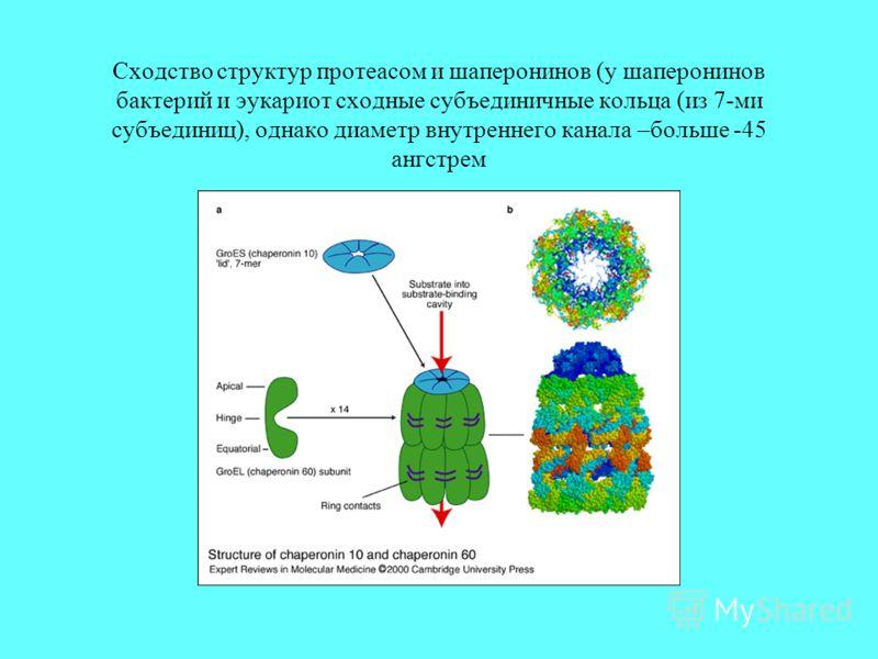 Сходство структур протеасом и шаперонинов (у шаперонинов бактерий и эукариот сходные субъединичные кольца (из 7-ми субъединиц), однако диаметр внутреннего канала –больше -45 ангстрем