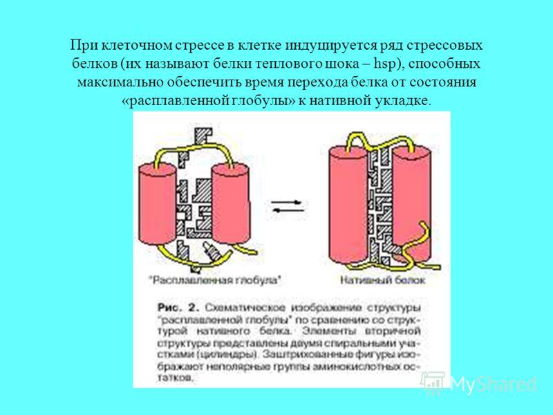 При клеточном стрессе в клетке индуцируется ряд стрессовых белков (их называют белки теплового шока – hsp), способных максимально обеспечить время перехода белка от состояния «расплавленной глобулы» к нативной укладке.
