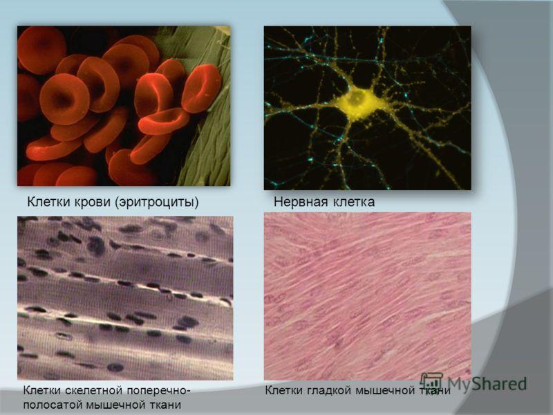 Клетки крови (эритроциты)Нервная клетка Клетки скелетной поперечно- полосатой мышечной ткани Клетки гладкой мышечной ткани