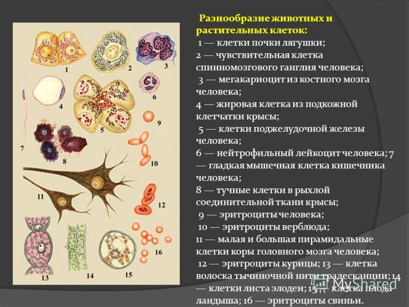 Разнообразие животных и растительных клеток: 1 клетки почки лягушки; 2 чувствительная клетка спинномозгового ганглия человека; 3 мегакариоцит из костного мозга человека; 4 жировая клетка из подкожной клетчатки крысы; 5 клетки поджелудочной железы чел