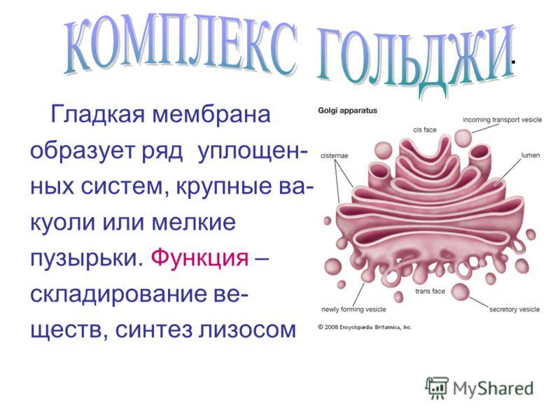 Гладкая мембрана образует ряд уплощен- ных систем, крупные ва- куоли или мелкие пузырьки. Функция – складирование ве- ществ, синтез лизосом.