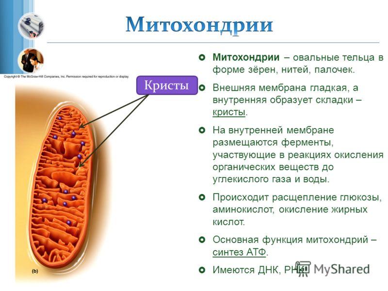 Митохондрии – овальные тельца в форме зёрен, нитей, палочек. Внешняя мембрана гладкая, а внутренняя образует складки – кристы. На внутренней мембране размещаются ферменты, участвующие в реакциях окисления органических веществ до углекислого газа и во
