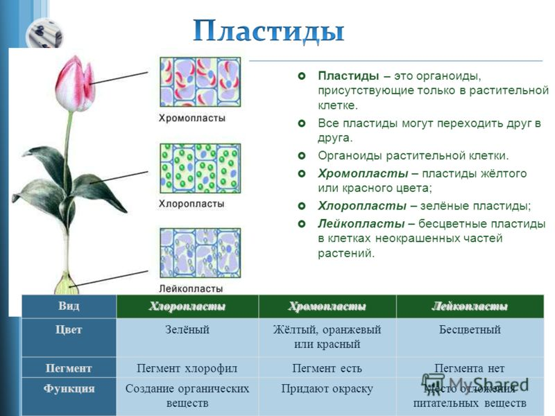 Пластиды – это органоиды, присутствующие только в растительной клетке. Все пластиды могут переходить друг в друга. Органоиды растительной клетки. Хромопласты – пластиды жёлтого или красного цвета; Хлоропласты – зелёные пластиды; Лейкопласты – бесцвет