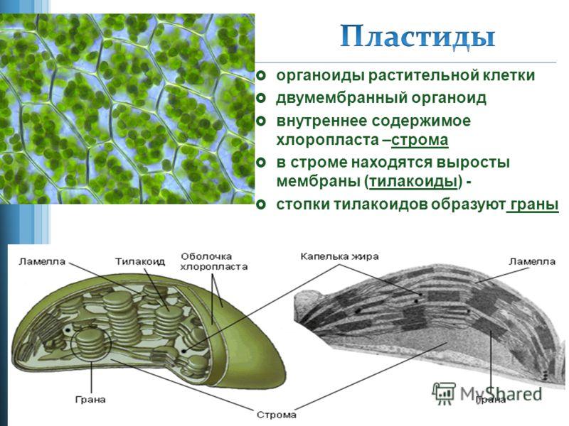 органоиды растительной клетки двумембранный органоид внутреннее содержимое хлоропласта –строма в строме находятся выросты мембраны (тилакоиды) - стопки тилакоидов образуют граны