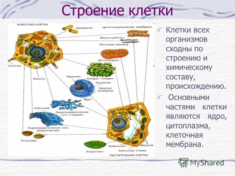 Строение клетки Клетки всех организмов сходны по строению и химическому составу, происхождению. Основными частями клетки являются ядро, цитоплазма, клеточная мембрана.