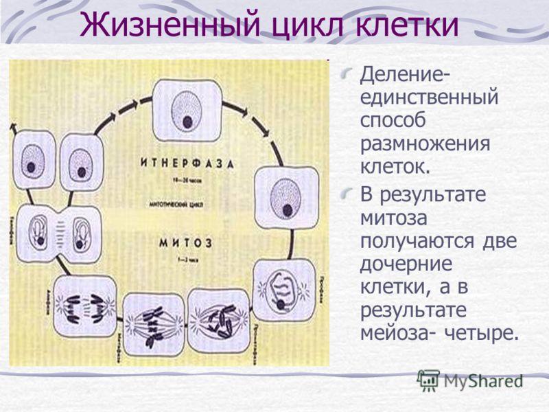 Жизненный цикл клетки Деление- единственный способ размножения клеток. В результате митоза получаются две дочерние клетки, а в результате мейоза- четыре.
