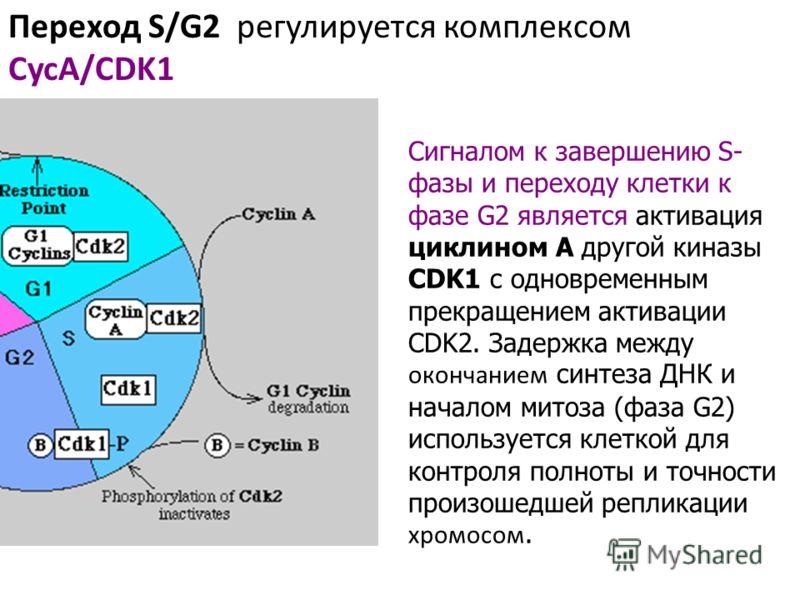 Сигналом к завершению S- фазы и переходу клетки к фазе G2 является активация циклином A другой киназы CDK1 с одновременным прекращением активации CDK2. Задержка между окончанием синтеза ДНК и началом митоза (фаза G2) используется клеткой для контроля