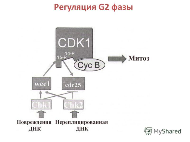 Регуляция G2 фазы