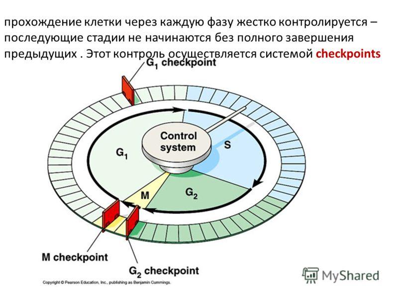 прохождение клетки через каждую фазу жестко контролируется – последующие стадии не начинаются без полного завершения предыдущих. Этот контроль осуществляется системой checkpoints