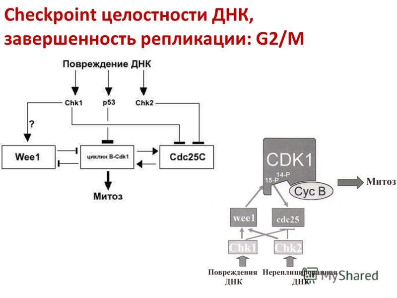 Checkpoint целостности ДНК, завершенность репликации: G2/M