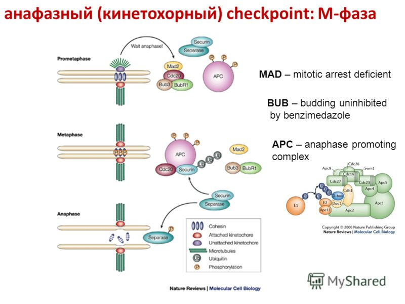 анафазный (кинетохорный) checkpoint: M-фаза MAD – mitotic arrest deficient BUB – budding uninhibited by benzimedazole APC – anaphase promoting complex