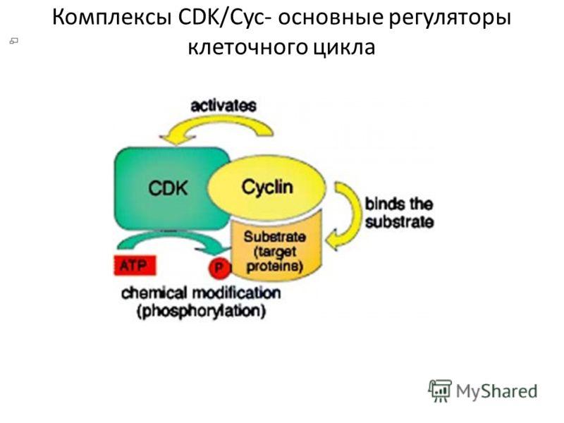 Комплексы CDK/Cyc- основные регуляторы клеточного цикла
