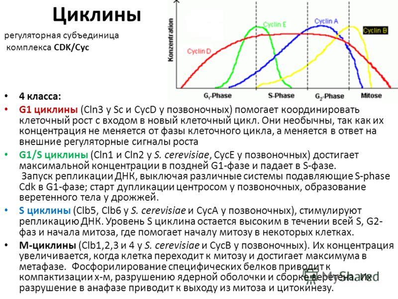 Циклины 4 класса: G1 циклины (Cln3 у Sc и СусD у позвоночных) помогает координировать клеточный рост с входом в новый клеточный цикл. Они необычны, так как их концентрация не меняется от фазы клеточного цикла, а меняется в ответ на внешние регуляторн
