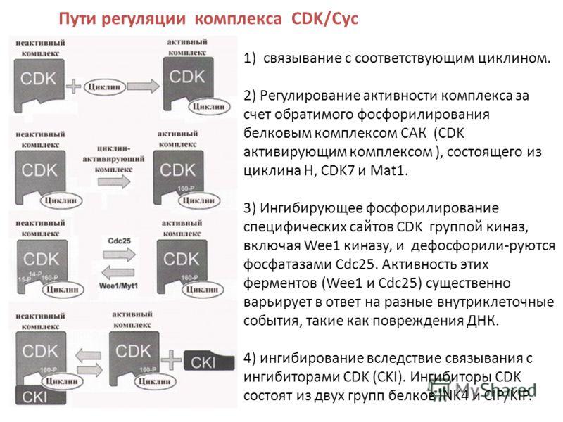 Пути регуляции комплекса CDK/Cyc 1) связывание с соответствующим циклином. 2) Регулирование активности комплекса за счет обратимого фосфорилирования белковым комплексом САК (CDK активирующим комплексом ), состоящего из циклина Н, CDK7 и Mat1. 3) Инги