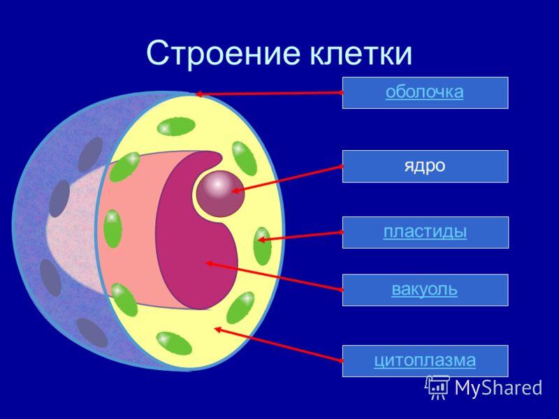 Строение клетки ядрооболочкапластиды вакуоль цитоплазма