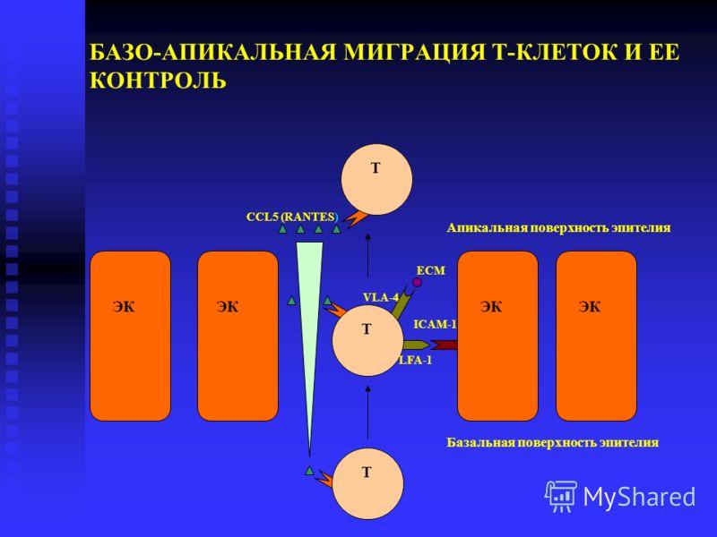 БАЗО-АПИКАЛЬНАЯ МИГРАЦИЯ Т-КЛЕТОК И ЕЕ КОНТРОЛЬ T ЭК ЭК ЭК ЭК T T Базальная поверхность эпителия Апикальная поверхность эпителия LFA-1 ICAM-1 VLA-4 ECM ССL5 (RANTES)