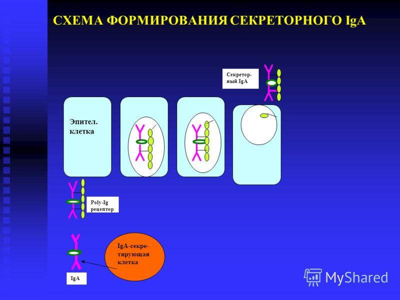 СХЕМА ФОРМИРОВАНИЯ СЕКРЕТОРНОГО IgA Эпител. клетка IgA-секре- тирующая клетка IgA Poly-Ig рецептор Секретор- ный IgA