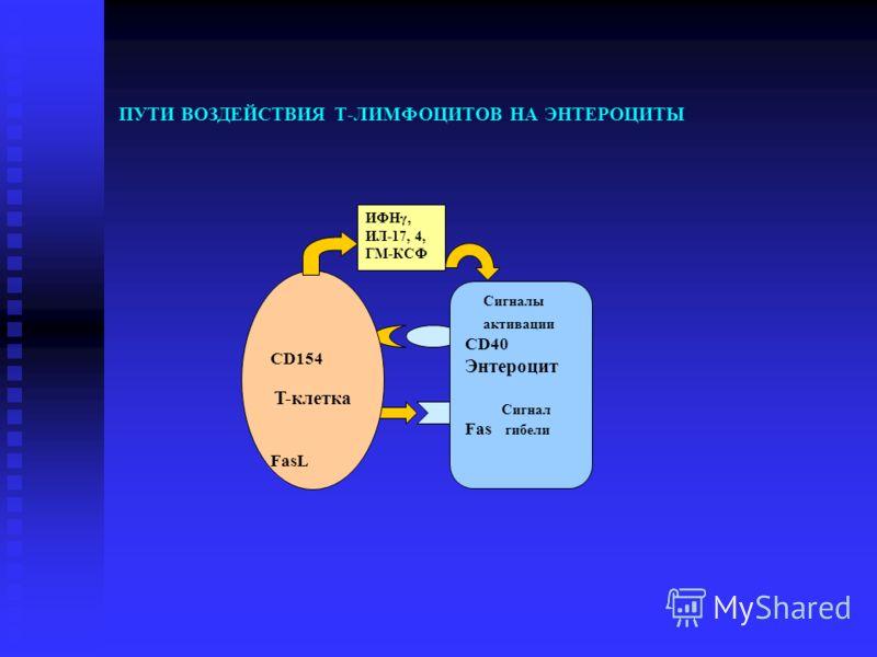 ПУТИ ВОЗДЕЙСТВИЯ Т-ЛИМФОЦИТОВ НА ЭНТЕРОЦИТЫ Сигналы активации CD40 Энтероцит Сигнал Fas гибели CD154 T-клетка FasL ИФНγ, ИЛ-17, 4, ГМ-КСФ