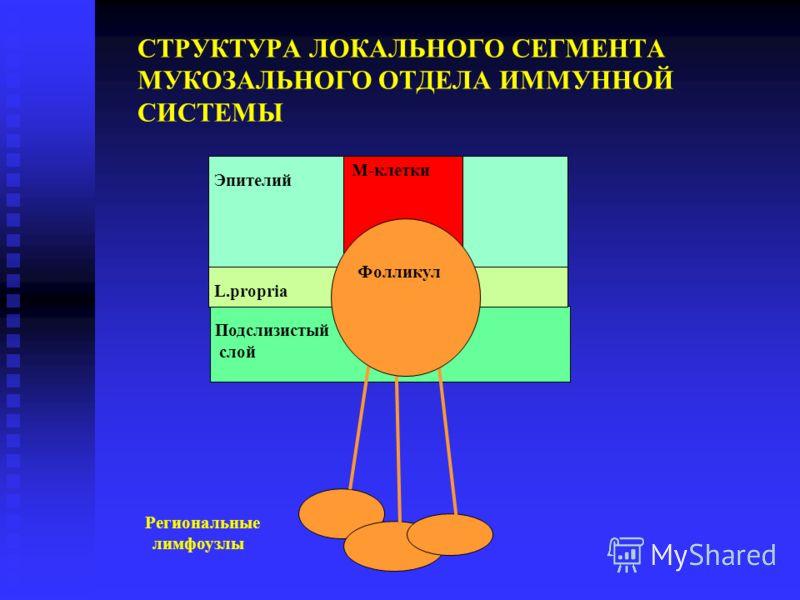 Подслизистый слой СТРУКТУРА ЛОКАЛЬНОГО СЕГМЕНТА МУКОЗАЛЬНОГО ОТДЕЛА ИММУННОЙ СИСТЕМЫ Эпителий L.propria М-клетки Фолликул Региональные лимфоузлы