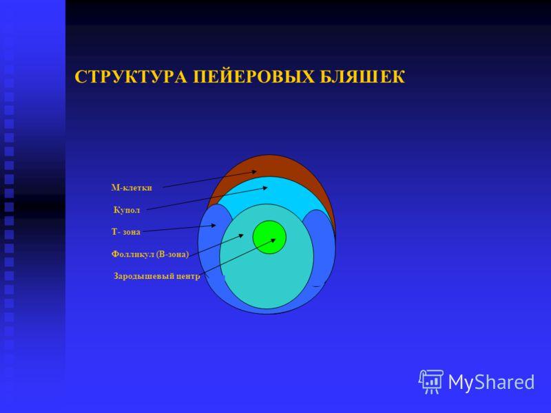 СТРУКТУРА ПЕЙЕРОВЫХ БЛЯШЕК М-клетки Купол Т- зона Фолликул (В-зона) Зародышевый центр
