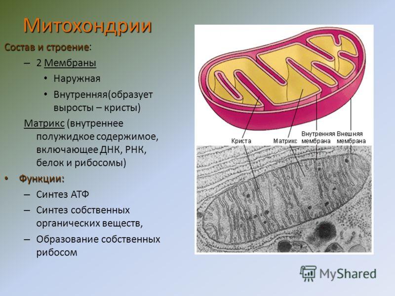 Строение Окруженные мембранами полости (цистерны) и связанная с ними система пузырьков. Функции Накопление органических веществ «Упаковка» органических веществ Выведение органических веществ Образование лизосом Аппарат Гольджи