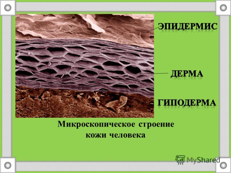 Строение и функции кожи Слой кожиФункция Подкожная клетчатка (гиподерма) Жировые клеткиЗащита от переохлаждения, смягчение ушибов и сотрясений, запас питательных веществ