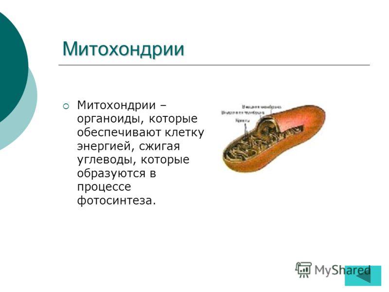 Митохондрии Митохондрии – органоиды, которые обеспечивают клетку энергией, сжигая углеводы, которые образуются в процессе фотосинтеза.