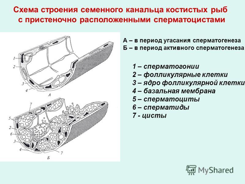 А – в период угасания сперматогенеза Б – в период активного сперматогенеза 1 – сперматогонии 2 – фолликулярные клетки 3 – ядро фолликулярной клетки 4 – базальная мембрана 5 – сперматоциты 6 – сперматиды 7 - цисты Схема строения семенного канальца кос